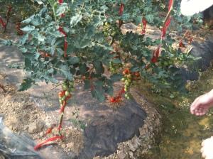 Cherry tomatoes. Yep, we ate them fresh off the plant!