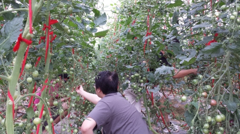 By plucking cherry tomatoes!