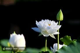 01_lotus